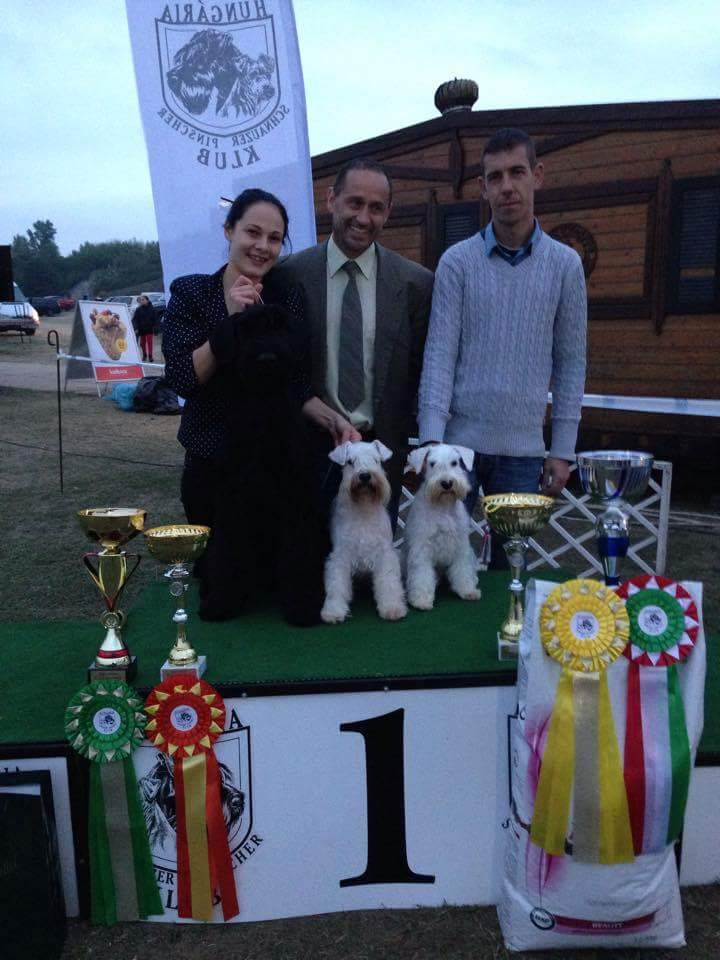 White-Gold Madonna Schnauzer Kennel